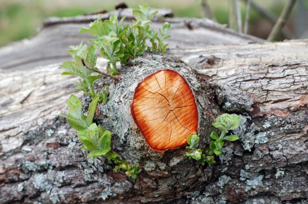 branch-wound-with-new-growth-around